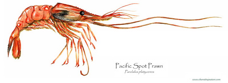 Product Offering: Wild Pacific Spot Prawns
