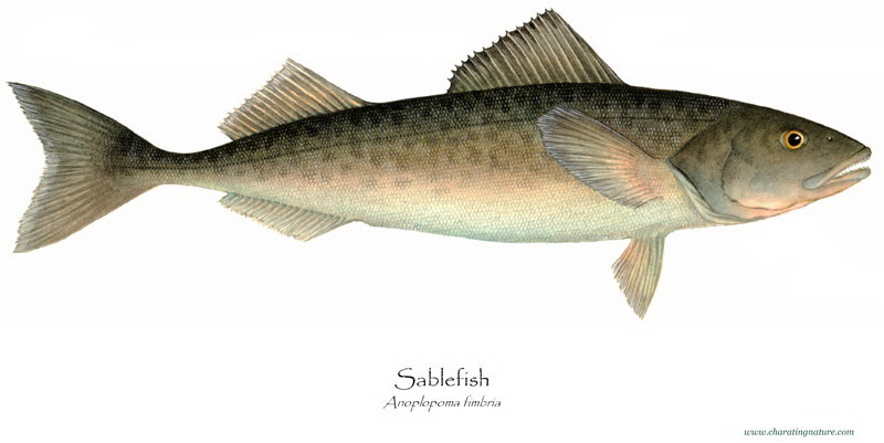 Product Offering: Wild Sablefish