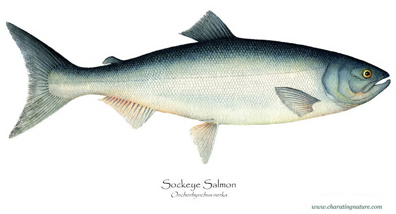 Product Offering: Sockeye Salmon