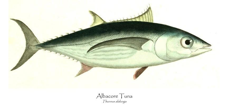 albacore-3
