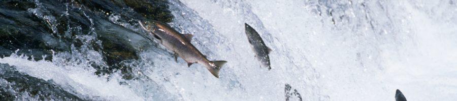 """Wild Salmon  <span style=""""text-transform: none"""">versus</span> FarmedSalmon"""