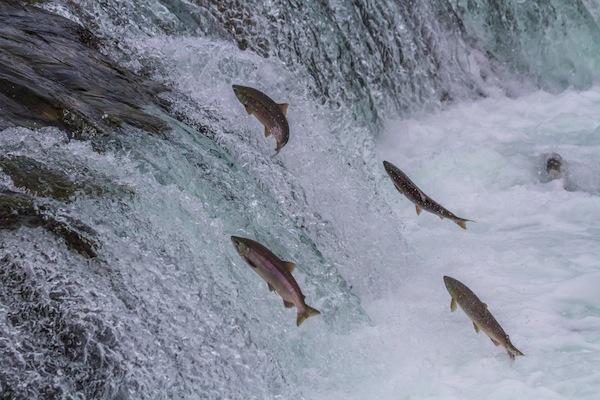 Salmon Jumping Waterfalls 600w