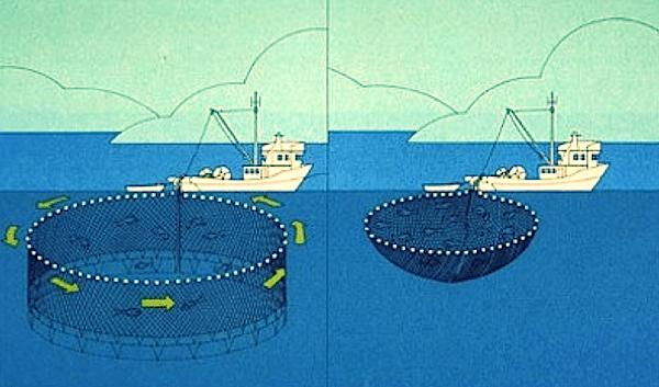 Sustainable Fishing : Purse Seining